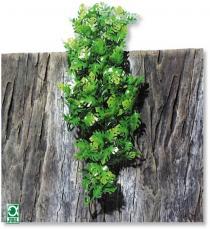 Plante pentru terariu, JBL TerraPlanta Amaz.Philo M21