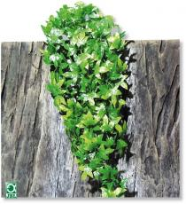 Plante pentru terariu, JBL TerraPlanta Congo Efeu M22